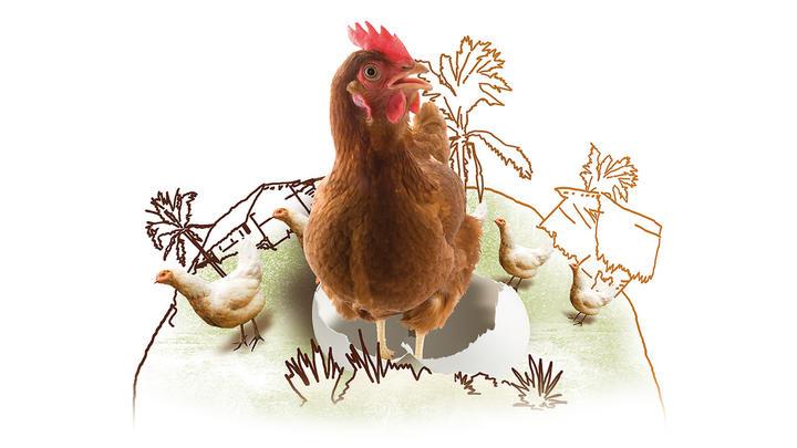 Ein Hahn und zwei Hennen